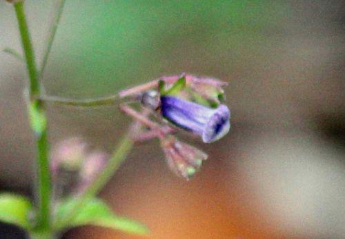 6 isodon fleur romi 30 oct 2013 p 044.jpg