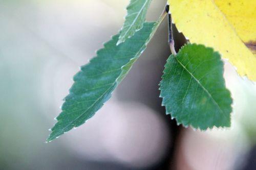 3 ulmus parvifolia gb 21 oct 2012 191 (2).jpg