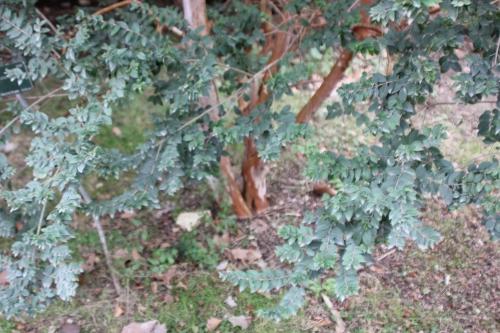 2 luma apiculata paris 10 fév 2015 102.jpg