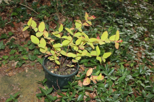 5 hypericum and 14 juin 2014 009.jpg