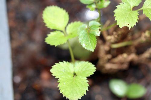 pigmy feuilles 8 dec 025.jpg
