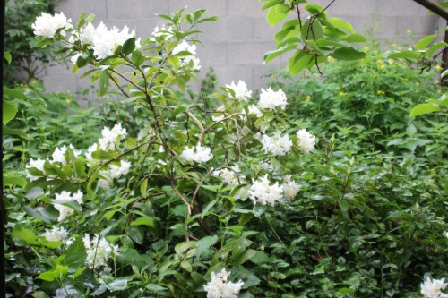 1 cunningham's white veneux 12 mai 2016 002.jpg