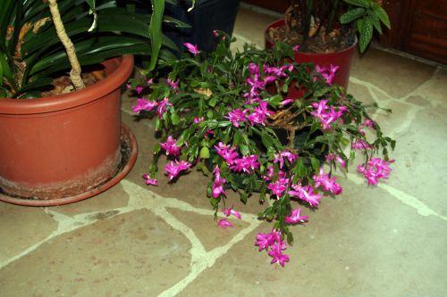 cactus noel 25 nov 2010 002.jpg