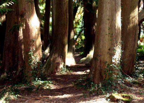 thuya écorce arbofolia 9 oct 2010 022.jpg