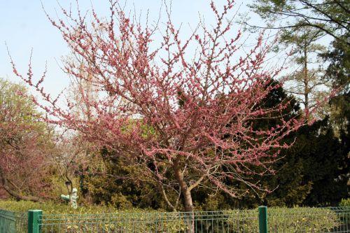 cercis yunnanensis 1 paris 6 avril 182.jpg