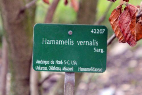hamamelis vernalis paris 2 fév 2013 071.jpg