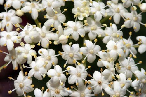 hookeri fleurs romi 7 sept 062.jpg