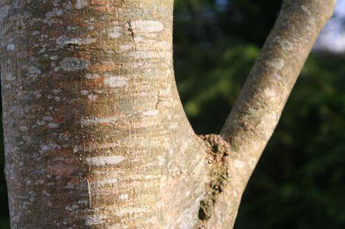 fraxinus 3 romi 12 déc 2010 017.jpg