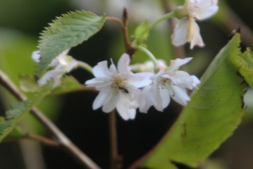9 prunus subhirtella veneux 30 oct 2012 010 (6).jpg