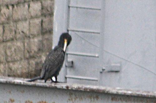 cormoran rec paris 12 janv 2013 p 022.jpg