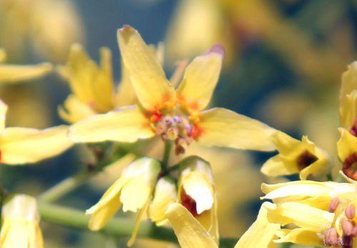 6 koelreuteria fleur paris 2 juil 2011 204.jpg