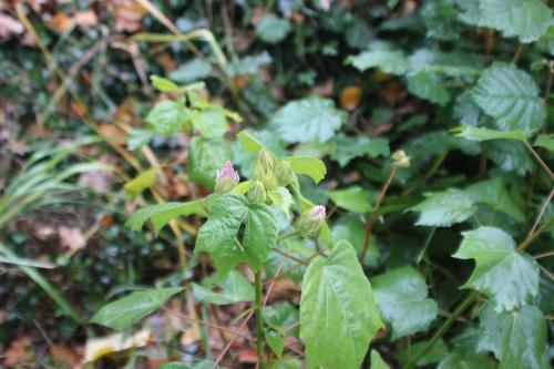 5 hibiscus mutabilis veneux 7 nov 2016 001 (1).jpg