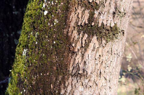 fraxinus 8 romi 12 déc 2010 022.jpg
