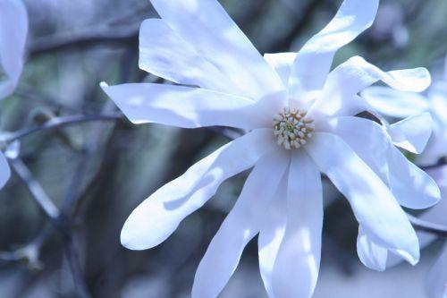 magnolia stel paris 23 mars 123.jpg