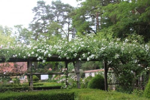 3 rosa longiscupis gb 14 juin 2015 141.jpg