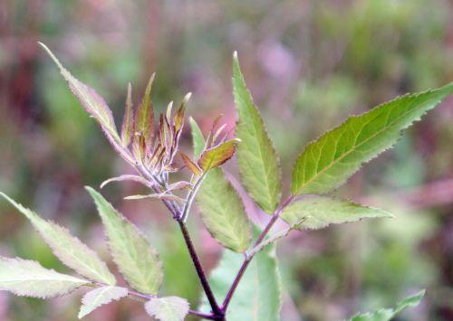 rouge sibirica romi 2 mai 025.jpg