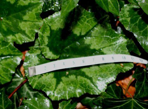 d1 cyclamen repandum cm 10 janv 2014 009.jpg