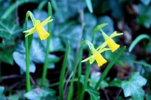 narcisse mini veneux 22 mars 014.jpg