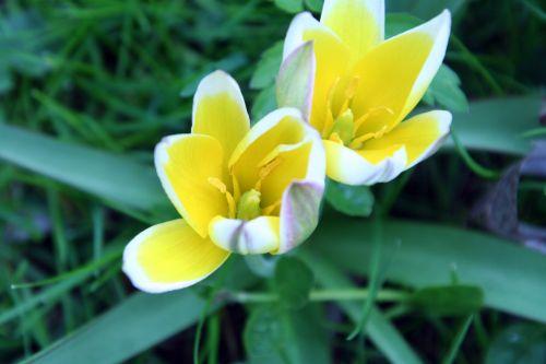tulipe romi 25 avril 022.jpg