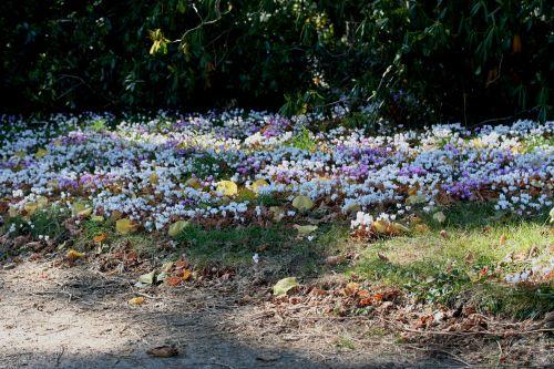 cyclamen tapis st jean 27 sept 2008 001 (24).jpg