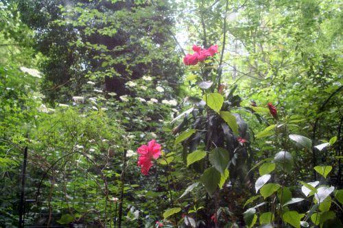 hibiscus 6 juin 001.jpg