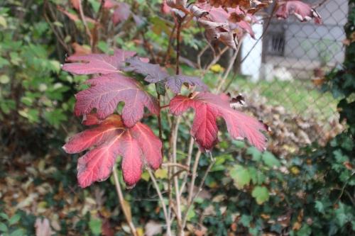 10 hydrangea quercifolia veneux 3 nov 2015 015.jpg