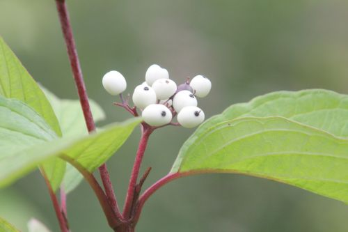 9 cornus alba romilly 5 sept 2012 006.jpg