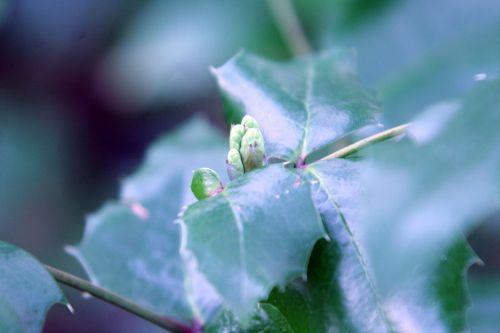 mahonia bourgeons 25 nov 030.jpg