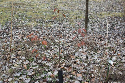 pseudocydonia romi 1 mars 2012 024.jpg