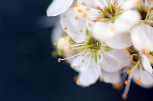 5 prunus spinosa 10 avril 2013 033.jpg