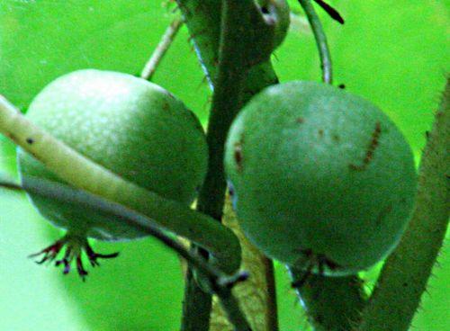 actinidia x fruits veneux 9 août 2010 pp 004.jpg