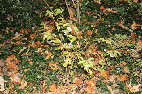 1 prunus subhirtella veneux 30 oct 2012 010.jpg