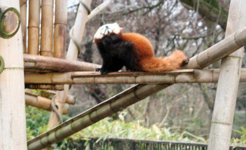 petit panda 9 fev 055.jpg