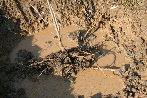 hookeri tronc racines 17 fev 006.jpg