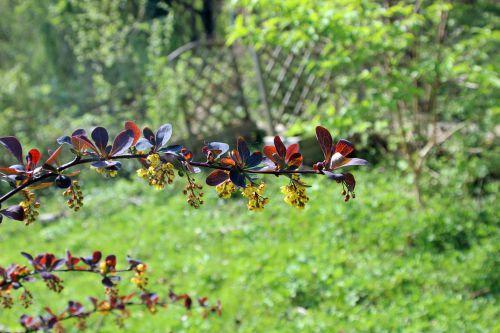 berberis ottawensis romi 11 avril 2014 084 (2).jpg