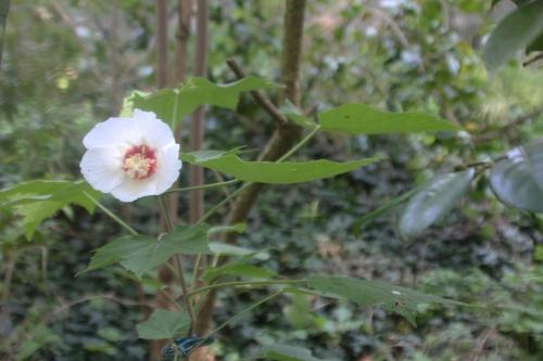 1 hibiscus paramutabilis veneux 23 juil 2017 001.jpg