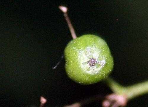 nigra fruit près 29 juin 2010 001.jpg