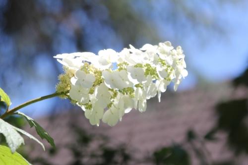 21 hydrangea quercifolia veneux 29 juin 2018 002 (1).jpg