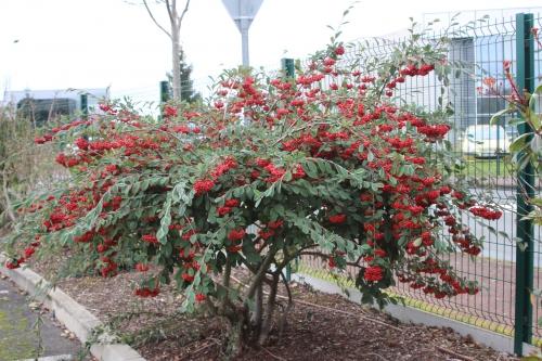 1 cotoneaster lacteus jardiland 27 janv 2016 010 (1).jpg