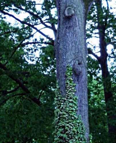 quercus petrea tronc 17 mai 2008 p 100.jpg