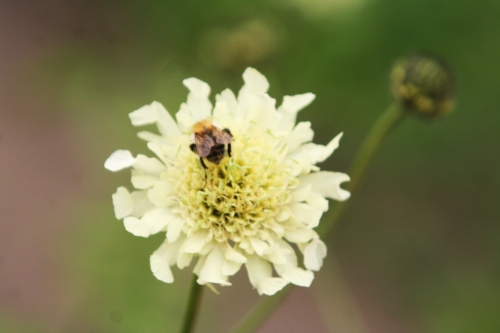 cephalaria alp paris 8 juin 118.jpg