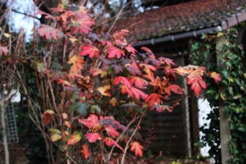9 hydrangea quercifolia veneux 27 nov 2016 012.jpg
