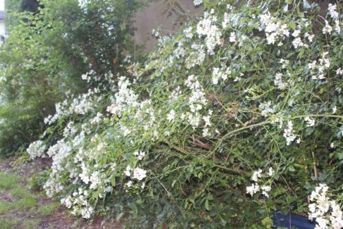 9 rosa mulligani veneux 24 juin 2016 016.jpg
