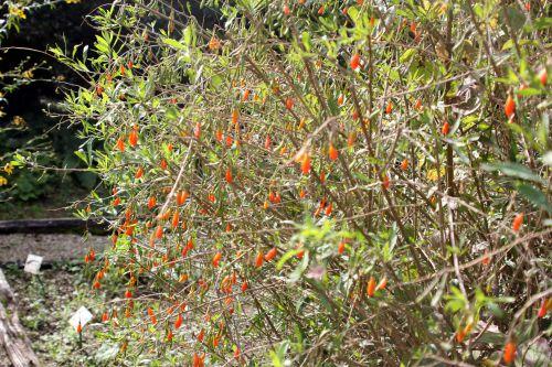 2 lycium chinense marnay 21 sept 2013 040 (5).jpg