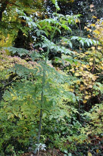 2 dahlia arborea veneux 11 nov 2012 004.jpg