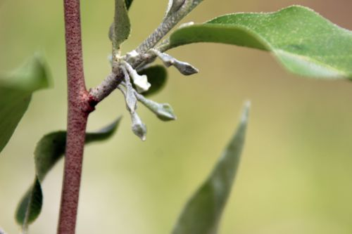 8 elaeagnus multiflora romi 11 avril 2014 013 (2).jpg
