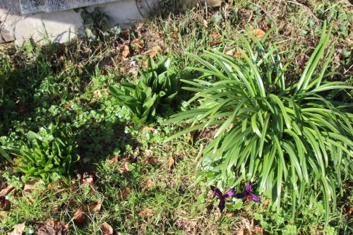 1 iris sternbergia colchique veneux 6 fev 2016 011.jpg