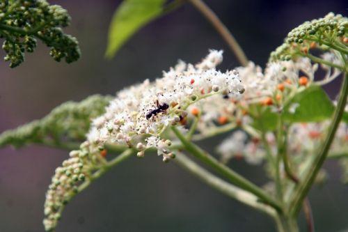 chinensis fourmi romi 9 août 085.jpg