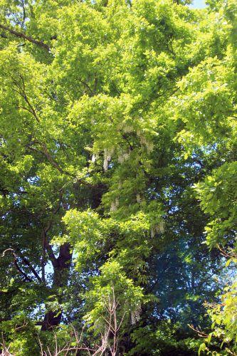 3 wisteria veneux 24 mai 2013 004.jpg