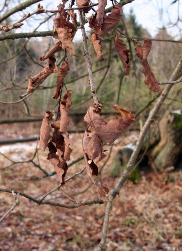 verzy chêne feuilles 13 janv 098.jpg